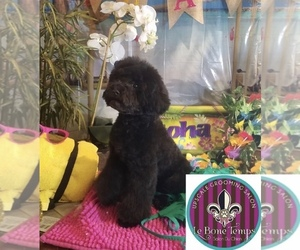 Poodle (Toy) Puppy for sale in WEWAHITCHKA, FL, USA