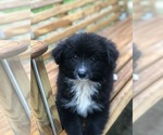 Small Photo #1 Labrador Retriever-Pomeranian Mix Puppy For Sale in SPENCER, TN, USA