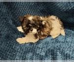 Puppy 2 Shih Tzu