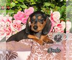 Small Photo #1 Dachshund Puppy For Sale in MIAMI, FL, USA