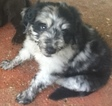 Aussiedoodle Puppy For Sale in TYLER, Texas,