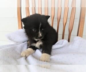 Pomsky Puppy for sale in KALAMAZOO, MI, USA