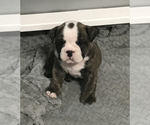 Small Photo #6 Bulldog Puppy For Sale in OAK RIDGE N, TX, USA