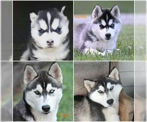 Mother of the Siberian Husky puppies born on 02/06/2019