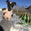 Chihuahua-Ratshire Terrier Mix Puppy For Sale in HOUSTON, TX, USA