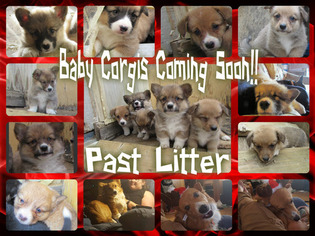 Pembroke Welsh Corgi Puppy For Sale in ORCHARD, CO, USA