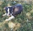 Boston Terrier Puppy For Sale in ARTHUR, IL, USA