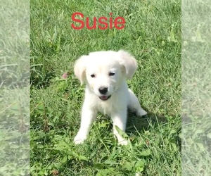 English Cream Golden Retriever Puppy for Sale in DEARBORN, Missouri USA