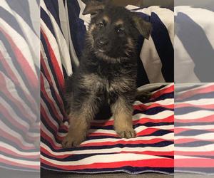German Shepherd Dog Puppy for Sale in STATESBORO, Georgia USA