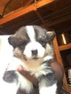 Pembroke Welsh Corgi Puppies PureBred Papers