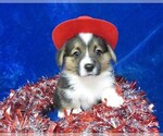 Image preview for Ad Listing. Nickname: AKC SIR LENNY