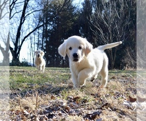 Golden Retriever Puppy for Sale in WHITEHALL, Pennsylvania USA