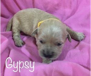 English Cream Golden Retriever Puppy for sale in DEARBORN, MO, USA