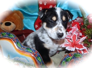 Australian Cattle Dog Mix Puppy For Sale in HAMMOND, IN, USA