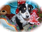 Australian Cattle Dog-Unknown Mix Puppy For Sale in HAMMOND, IN, USA