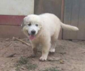 Great Pyrenees Puppy for sale in HARRISON, OH, USA
