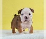 Puppy 11 Bulldog