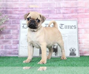 Pug Puppy for Sale in BEL AIR, Maryland USA