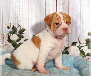 Chinese Shar-Pei-Puggle Mix Puppy for sale in PENNS CREEK, PA, USA