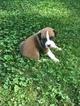 Boxer Puppy For Sale in HILLSVILLE, VA, USA