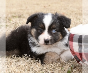 Miniature Australian Shepherd Puppy for Sale in CHICKASHA, Oklahoma USA