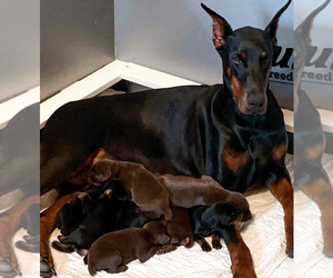 Mother of the Doberman Pinscher puppies born on 05/07/2020
