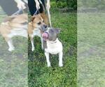 Small #11 Staffordshire Bull Terrier