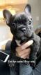 French Bulldog Puppy For Sale in TRAVERSE CITY, MI