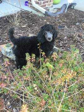 View Ad: Poodle (Standard) Litter of Puppies for Sale near