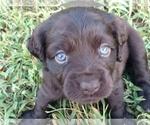 Boykin Spaniel Puppy For Sale in SILVER CREEK, GA, USA