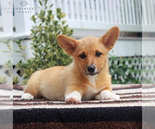 View Ad: Pembroke Welsh Corgi Puppy for Sale near In Spain