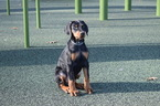 Doberman Pinscher Puppy For Sale in MARSHFIELD, Massachusetts,