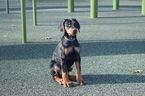 Doberman Pinscher Puppy For Sale in MARSHFIELD, MA, USA