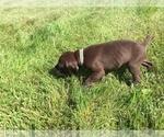 Puppy 8 German Shorthaired Pointer