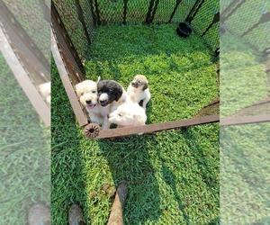 Pyredoodle Puppy for sale in WYANDOTTE, OK, USA