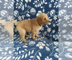 Goldendoodle Puppy for sale in KOKOMO, IN, USA