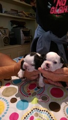 Boston Terrier Puppy for sale in COLUMBIAVILLE, MI, USA