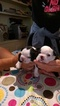 Boston Terrier Puppy For Sale in COLUMBIAVILLE, MI