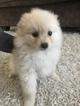 Pomeranian Puppy For Sale in BEND, Oregon,