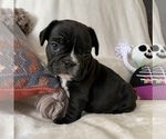 Small Photo #2 French Bulldog Puppy For Sale in JOHNS ISLAND, SC, USA
