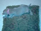 Weimaraner Puppy For Sale in EDINBURG, TX