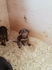 Catahoula Leopard Dog Puppy For Sale in WEST BEND, WI, USA