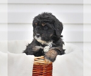 Bernedoodle Puppy for sale in CHAMBERSBURG, PA, USA