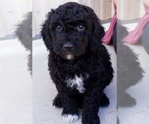 Goldendoodle Puppy for sale in KALAMAZOO, MI, USA
