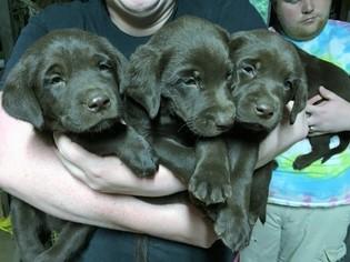 Labrador Retriever Puppy For Sale in GRIFFIN, GA, USA