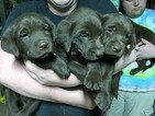 Labrador Retriever Puppy For Sale in GRIFFIN, GA,