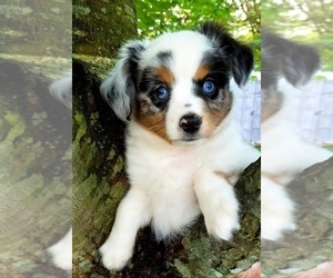 Miniature Australian Shepherd Puppy for Sale in SAYLORSBURG, Pennsylvania USA