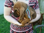 Bloodhound Puppy For Sale in GREENCASTLE, IN, USA
