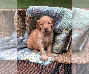 Goldendoodle Puppy for Sale in DAVENPORT, Iowa USA