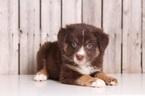 Australian Shepherd Puppy For Sale in MOUNT VERNON, OH, USA